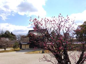 宸殿前 左近の梅